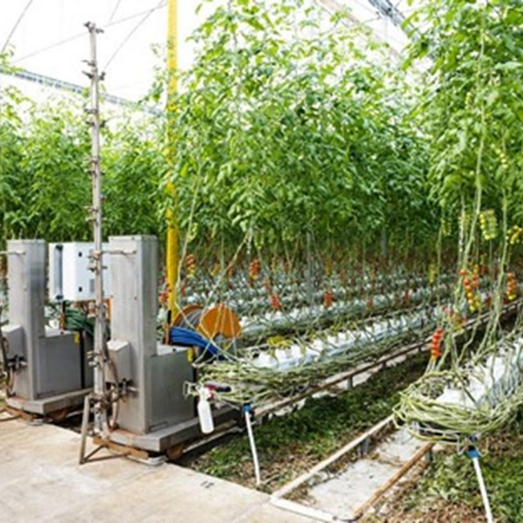 Highly specialized production of cherry and plum tomatoes