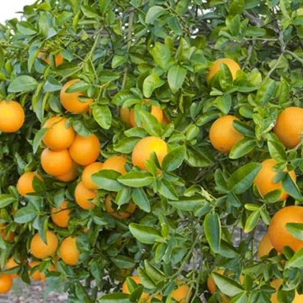 """""""The protocols for exporting citrus or kakis from Spain to third countries are very tough"""""""