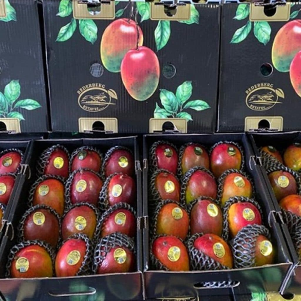 Tree-ripe South African mangoes give South American fruit a good go