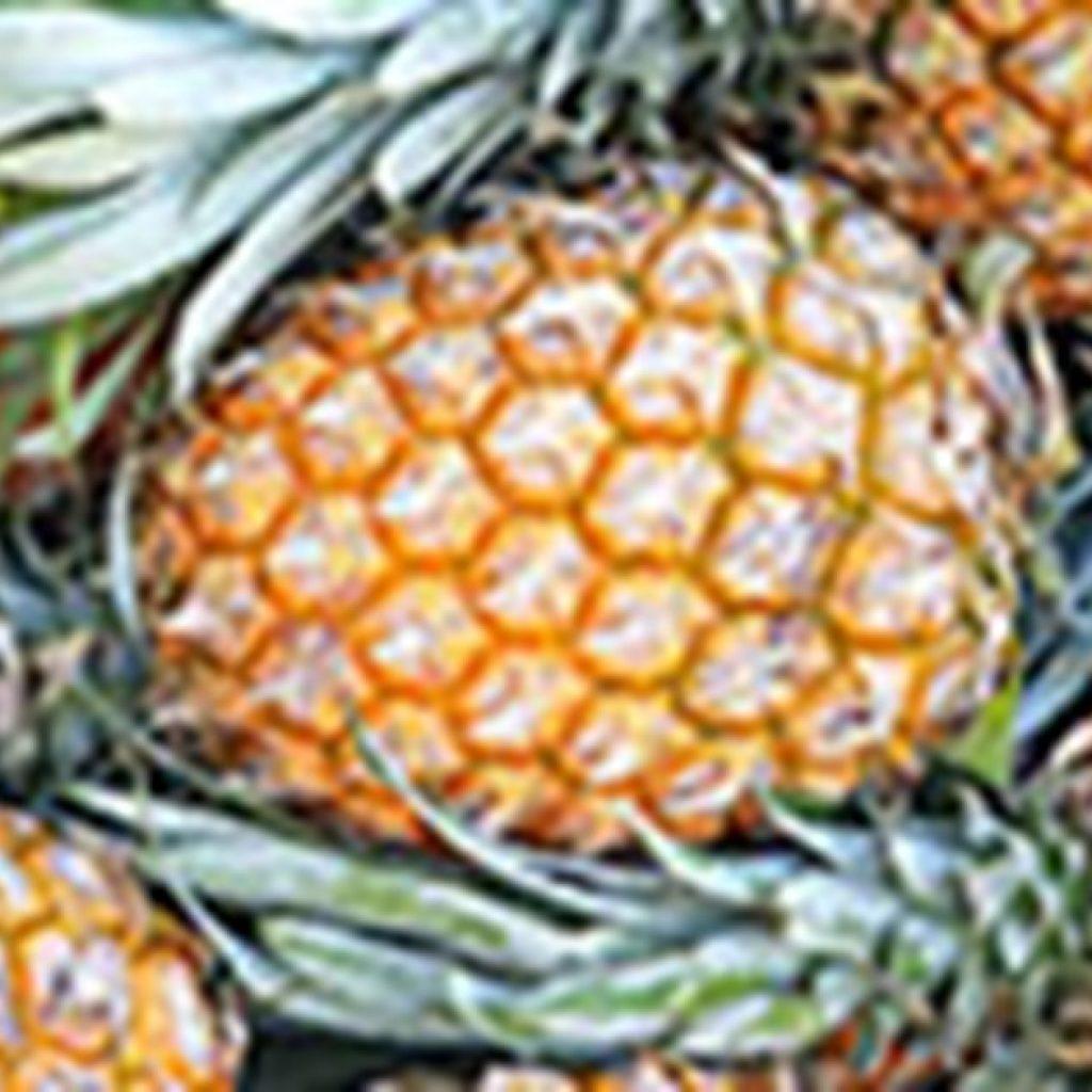 Pates' pineapple farm celebrates 100 years in Wamuran