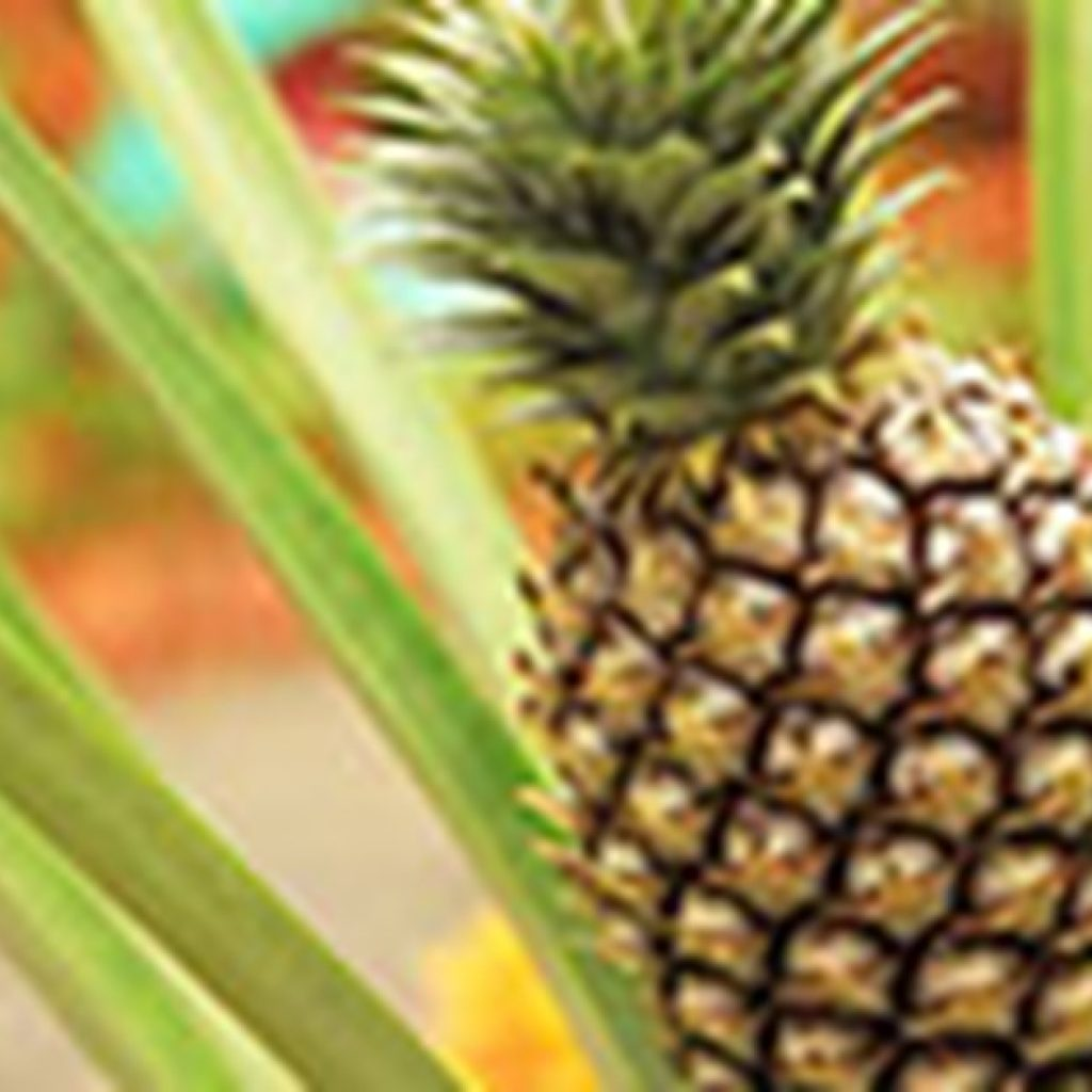 Togolese pineapple sector is doing well