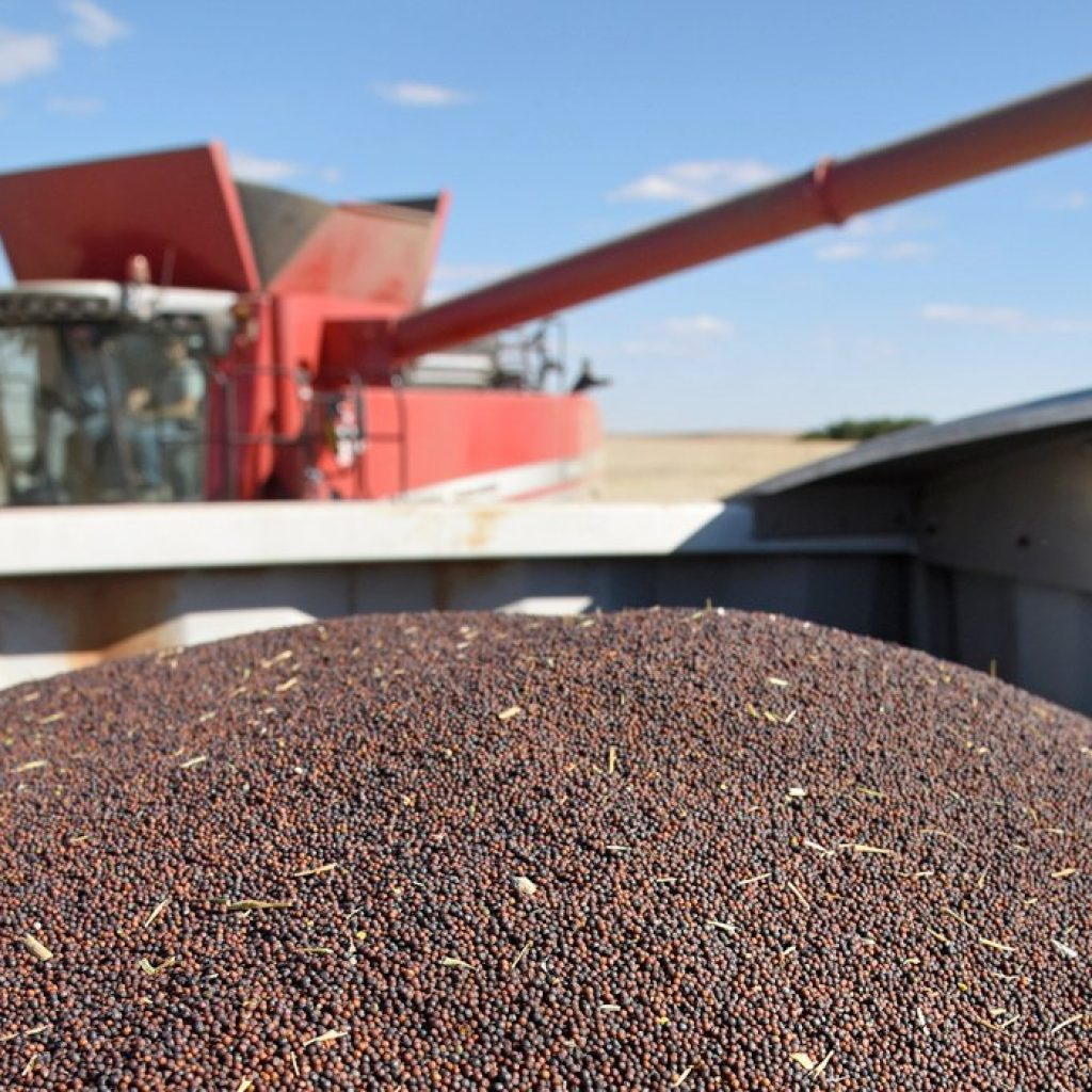 Analyst worries sharp fall coming for canola