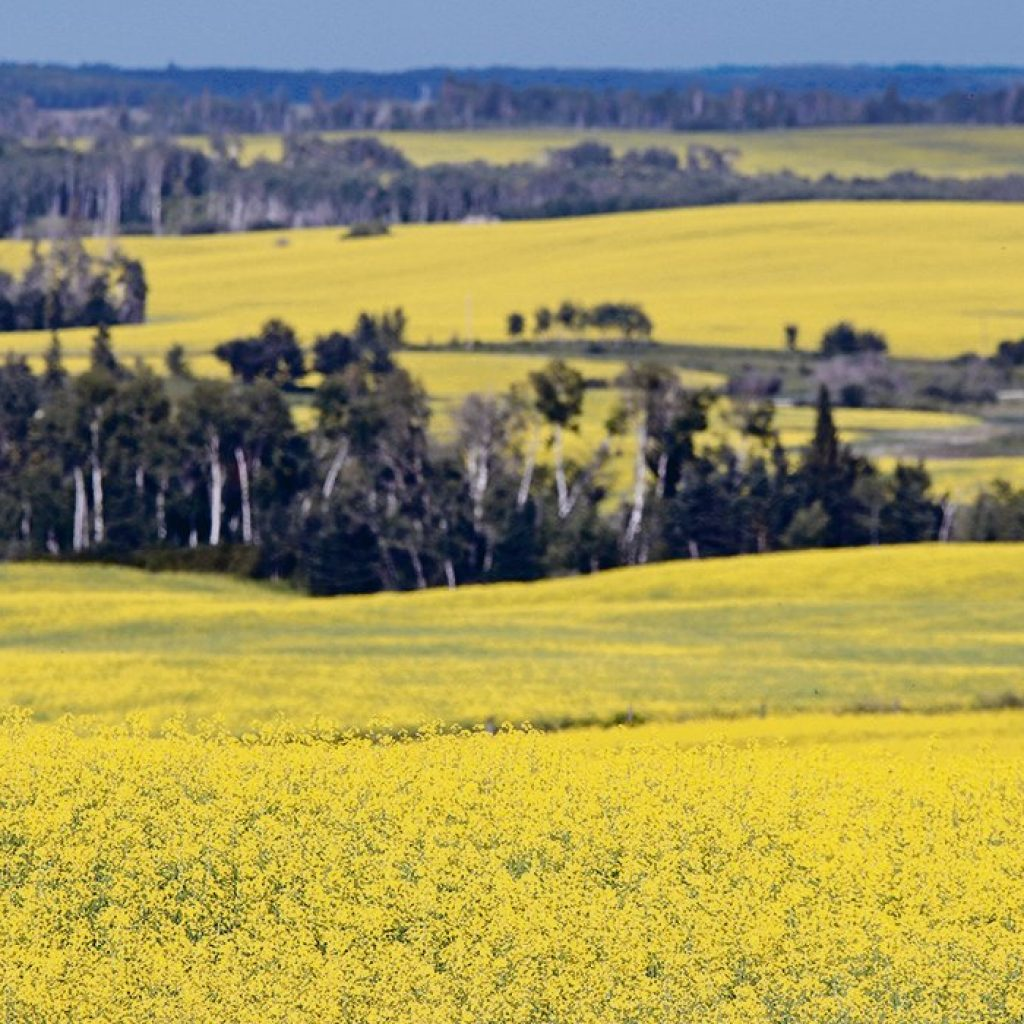 Canola demand and prices continue to reach for the sky