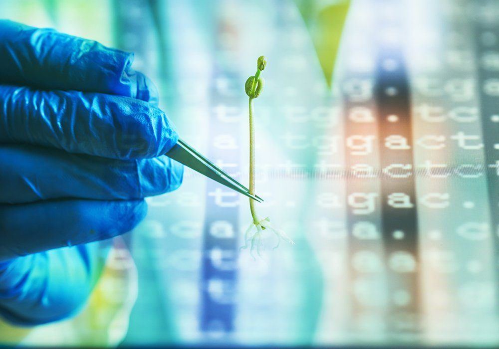 To develop the new guidelines, Health Canada experts reviewed the science around gene-edited crops and concluded that the technology is safe for human consumption and the environment.