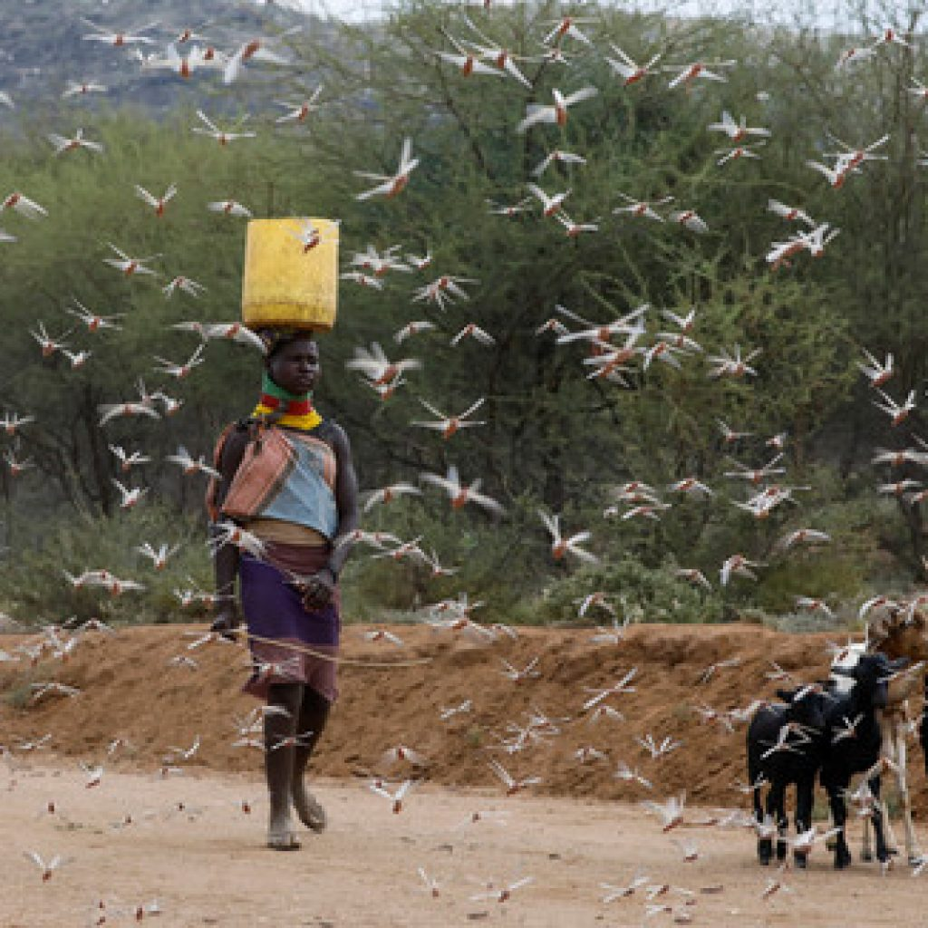 A woman from the Turkana tribe walks through a swarm of desert locusts at the village of Lorengippi near the town of Lodwar, Turkana county, Kenya, July 2, 2020. REUTERS/Baz Ratner - RC26LH92ENFM