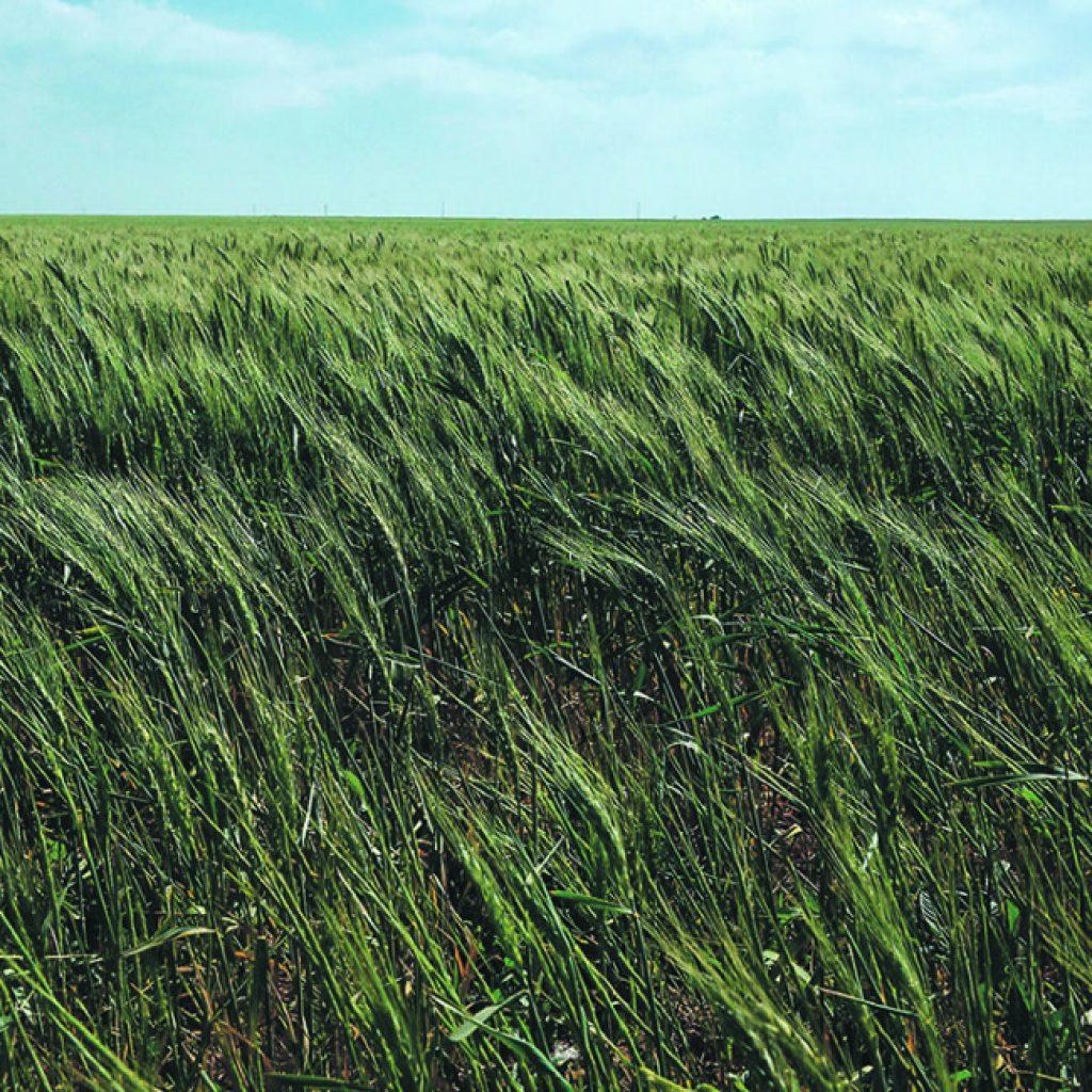 Moisture critical as winter wheat leaves dormancy