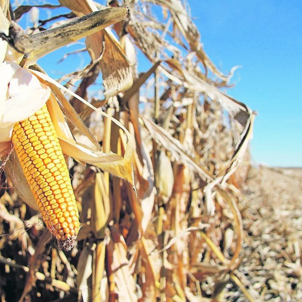 Study tracks four years of disease loss in corn