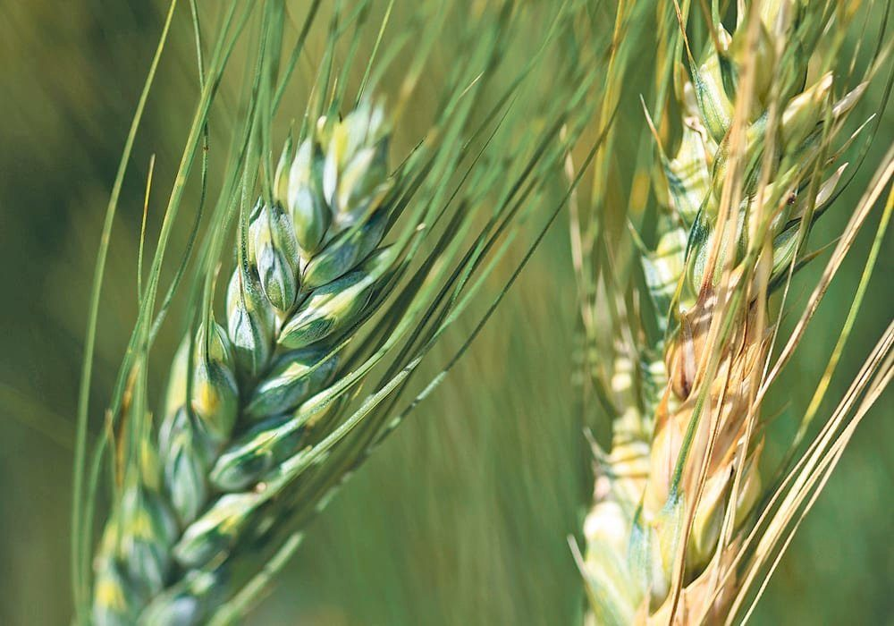 Last month, the Alberta Seed Processors released an interim report that quantifies the incidence of fusarium on seed samples submitted to Alberta seed testing labs.