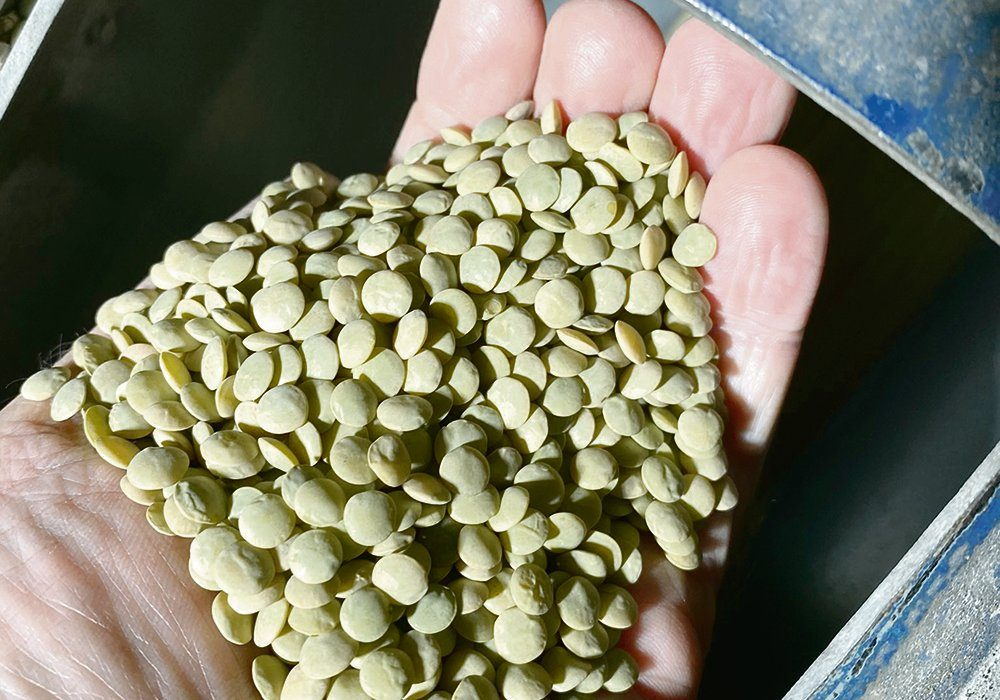 CDC Lima green lentils — large and plump, were cleaned at Moose Jaw's McDougall Acres seed growers this past December.
