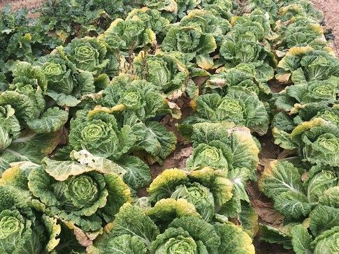 image of Chinese cabbages growing