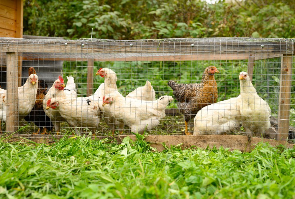 Pastured poultry producers found it hard to assess their labour because their operations are often highly diverse so chores involved multiple operations.