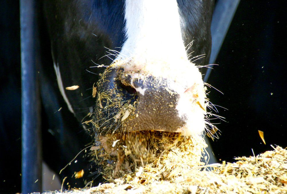 Dairy cattle carbon efficiency has improved greatly.