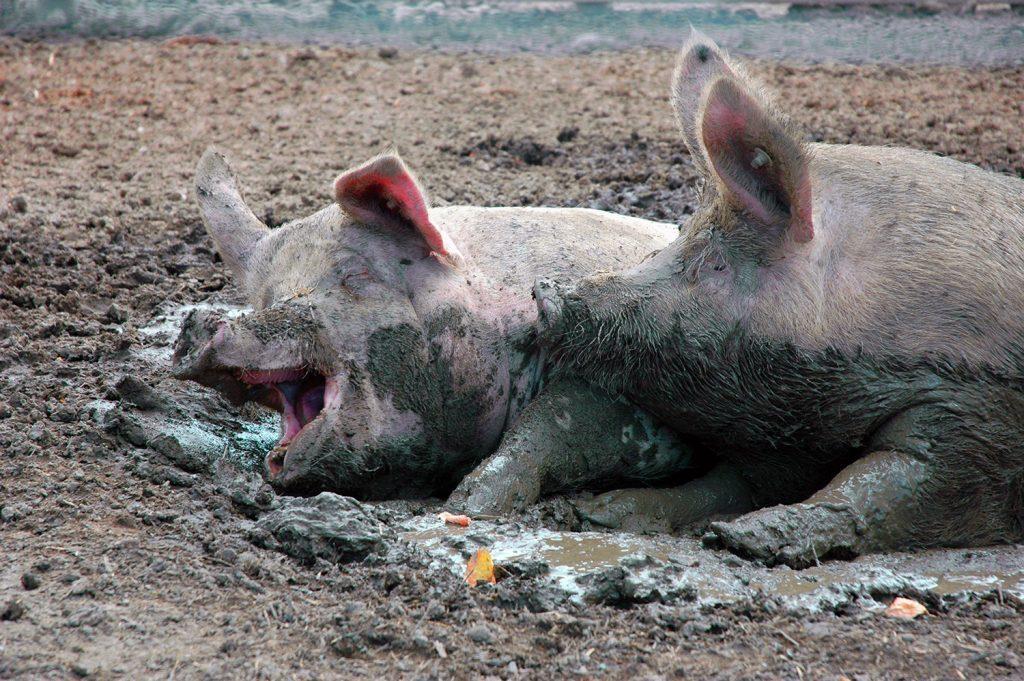 Sobeys and Loblaws among those lagging on improving animal welfare: report