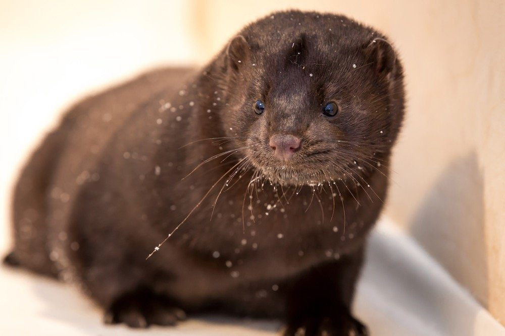 Mink farms are a major target of animal activists.