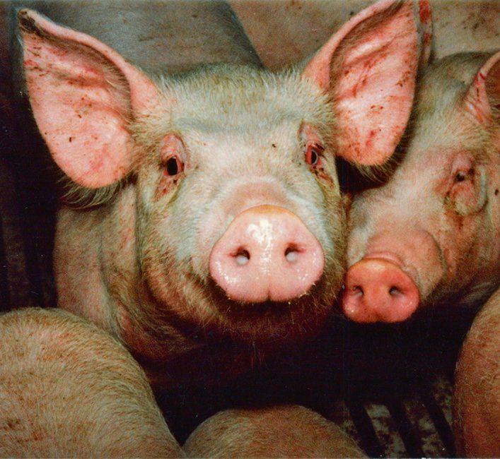 COVID-19 tests help discover pig-based flu viruses in Man.