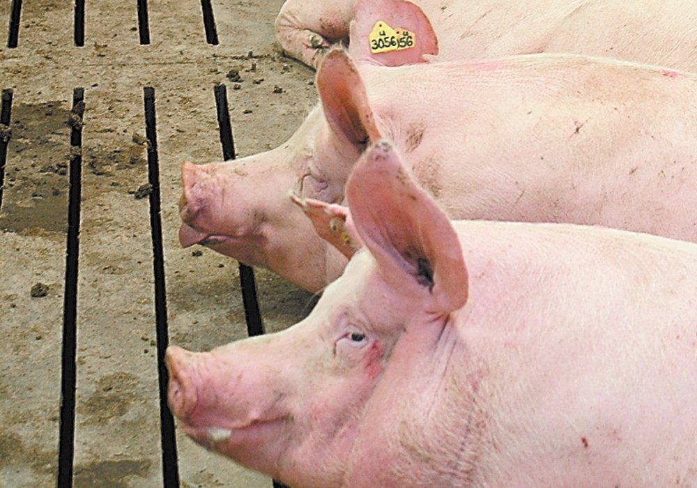 Chinese veterinary institutes identified new strains of the deadly hog disease in November and December of 2020. Those strains spread to a large portion of the herd before being detected.