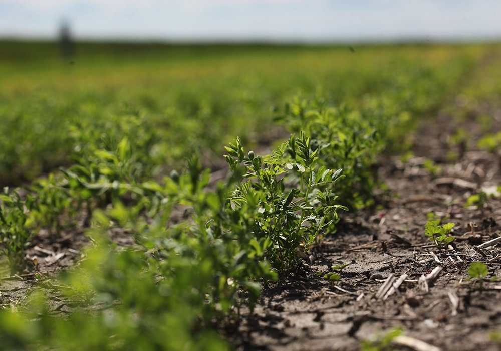 Canadian green lentils can be used as a substitute for pigeon peas when prices are high and that is the case this year.
