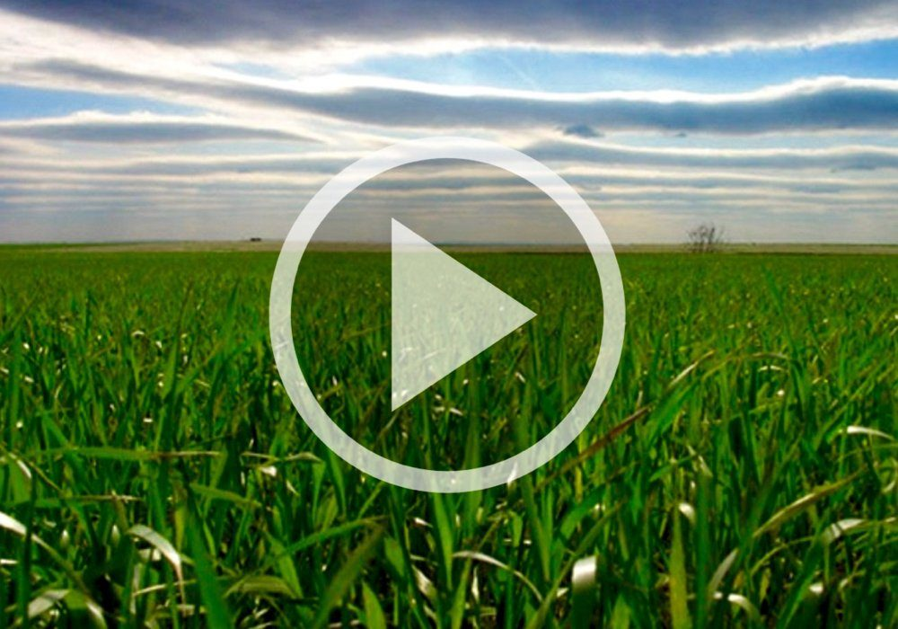 VIDEO: Wheat progress in Ontario, and do you need a fungicide?