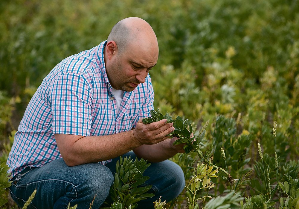 University of Saskatchewan entomologist Sean Prager examines a fababean plant for signs of insect infestation. Lygus bugs are becoming a problem for the pulse crop as well as canola.